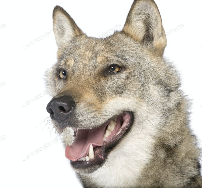 close-up on a old European wolf - Canis lupus lupus