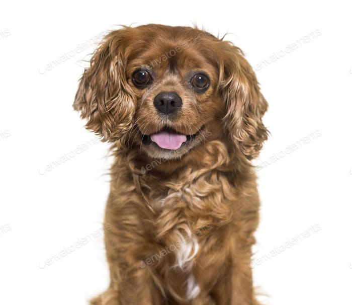Close-up of a panting Cavalier King Charles dog, cut out