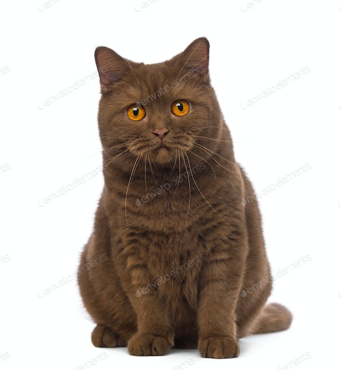 British Shorthair, 20 months old, sitting and looking at the camera in front of white background