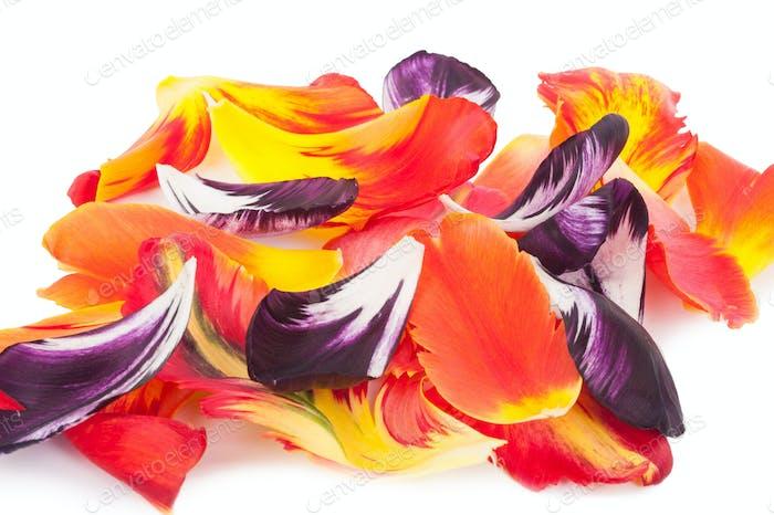 petals of a tulip