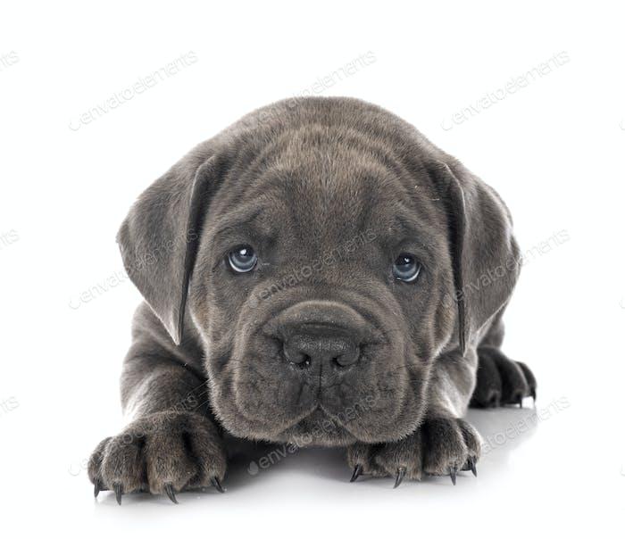 puppy Neapolitan Mastiff