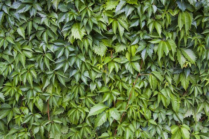 Ivy leaf texture, green background
