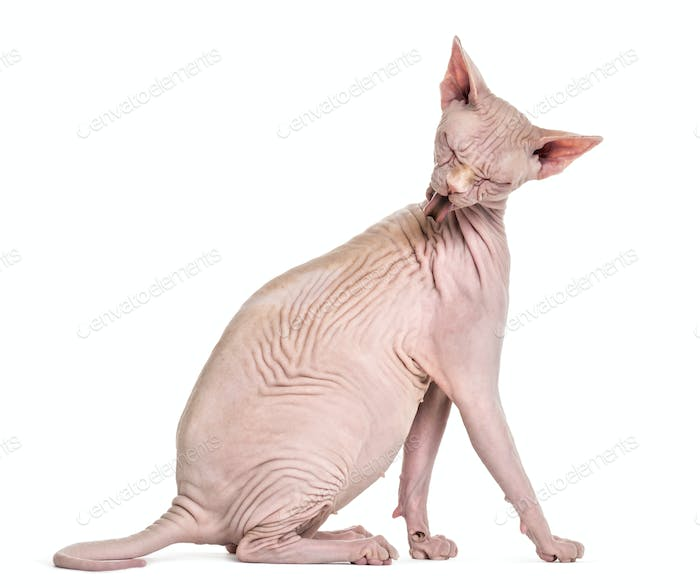 Sphynx, 4 years old, grooming against white background