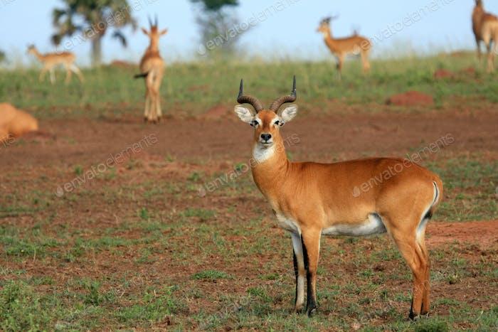 Impala Antelope, Uganda, Africa