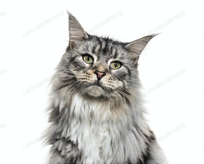Close-up on a main coon cat face, isolated on white