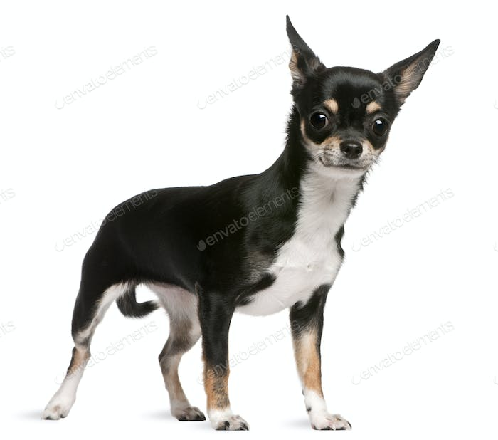 Chihuahua (7 months old)
