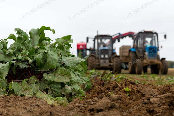 Harvesting on a beet field