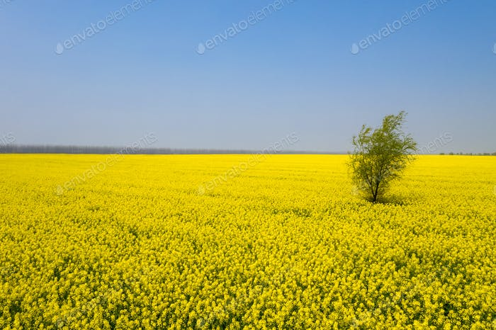 beautiful spring landscape,lonely little tree with golden rapeseed flowers in blossom