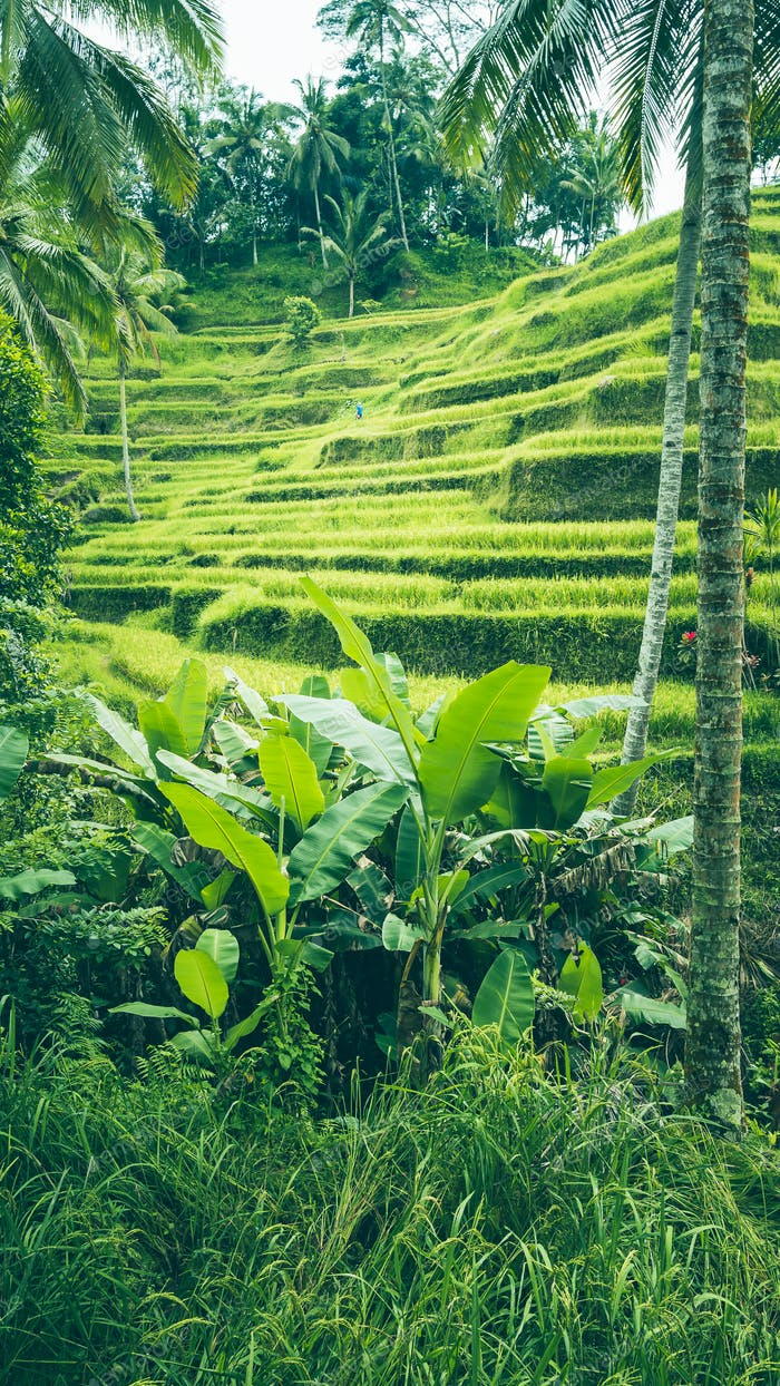 Tegalalang Rice Terrace fields, Ubud, Bali, Indonesien