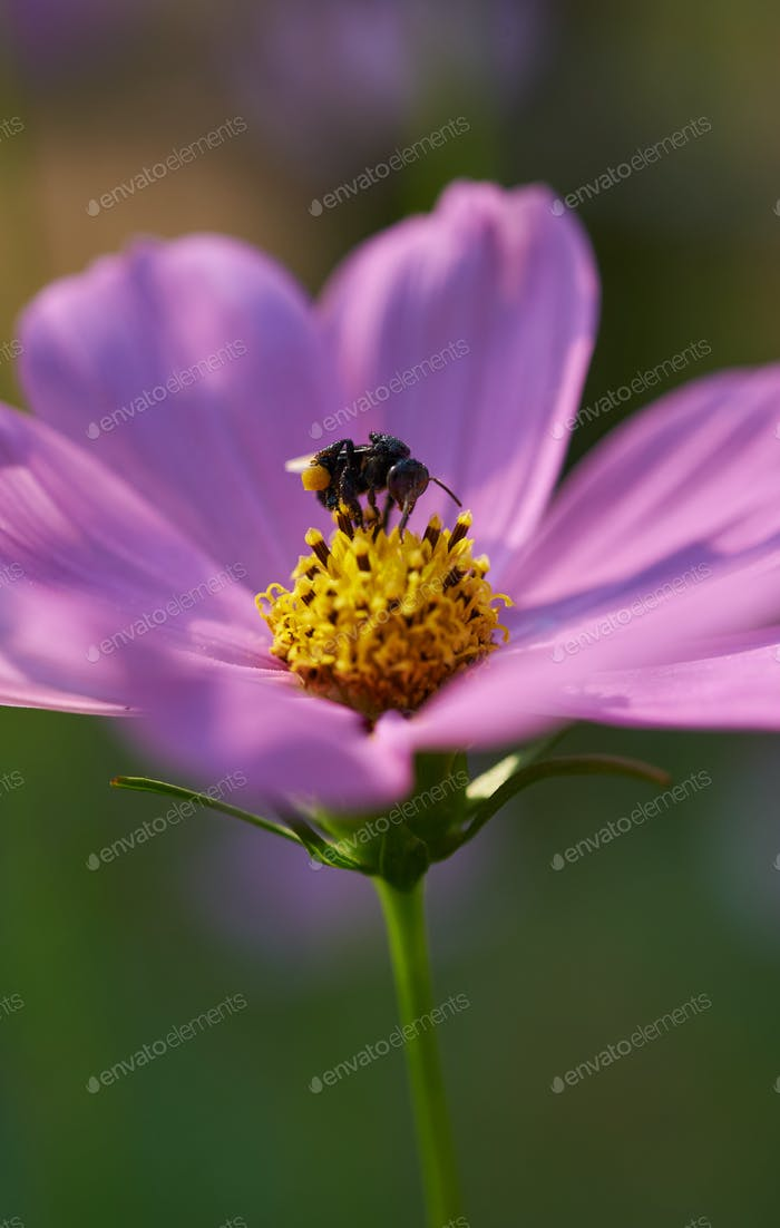 Bee on yellow pollen of pink flower