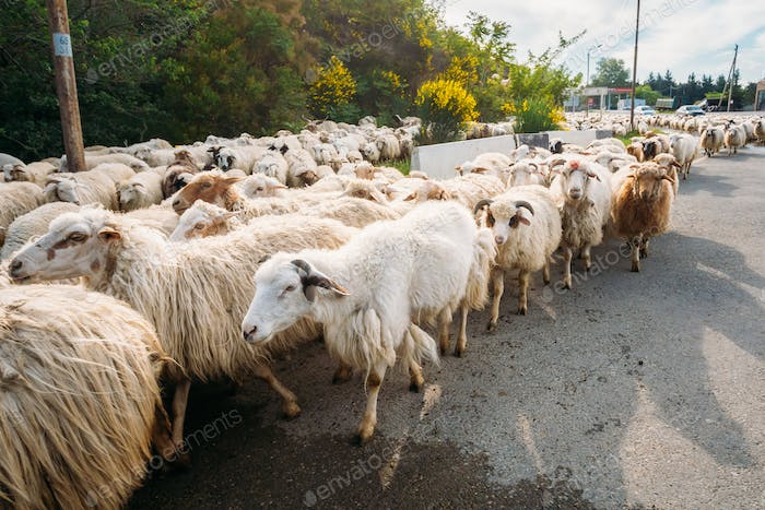 Georgia, Caucasus. Close Flock Of Unshorn Sheep Moving On Asphal