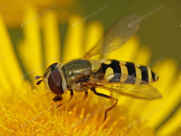 Common banded hoverfly (Syrphus ribesii)