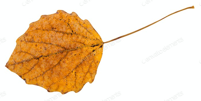 back side of fallen leaf of aspen tree isolated