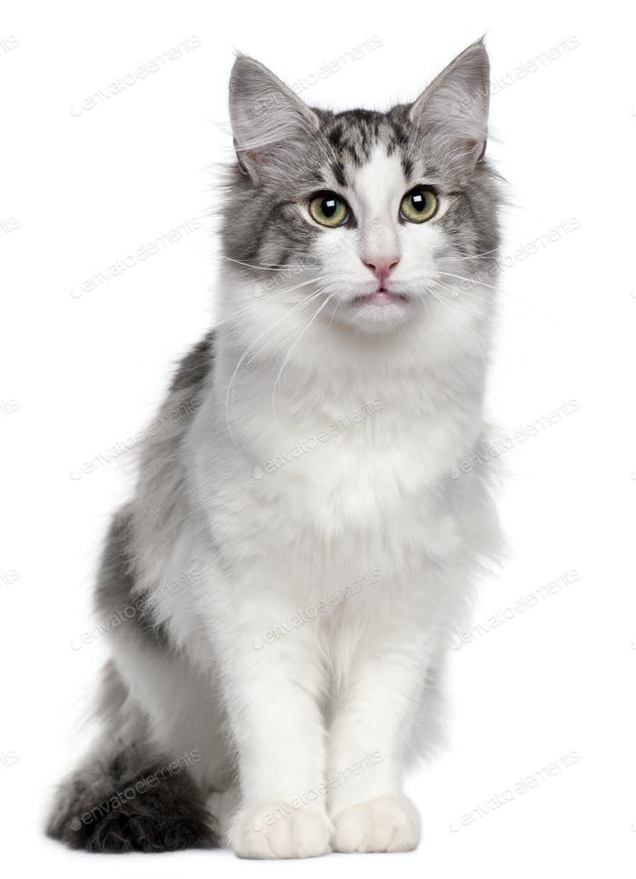 Norwegian Forest Cat (5 months old), Norwegian Forest Cat (5 mon