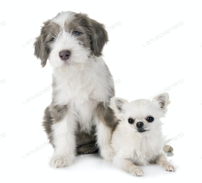 puppy bearded collie and chihuahua