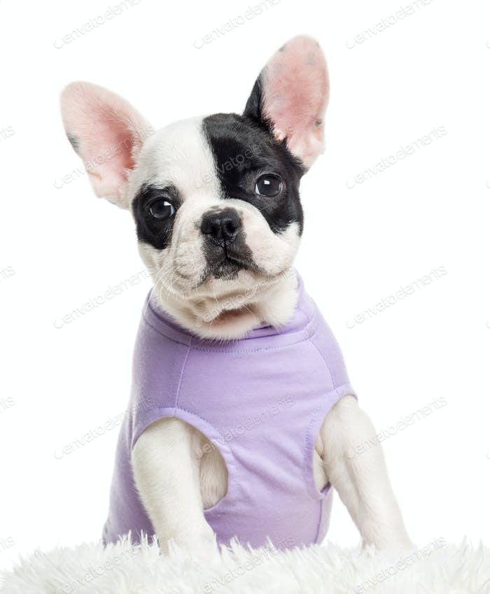 Close up of a dressed French Bulldog looking at the camera, isolated on white