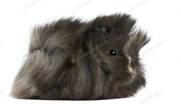 Young Peruvian guinea pig, 2 months old, in front of white background