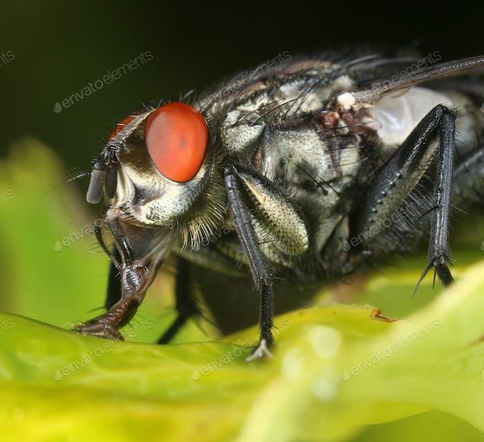 Rotäugige Fliegenmakro Nahaufnahme