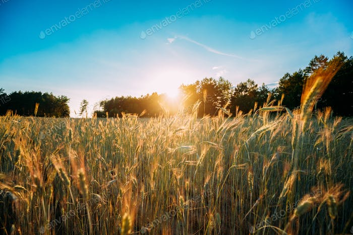 Summer Sun Shining Over Agricultural Landscape Of Green Wheat Fi