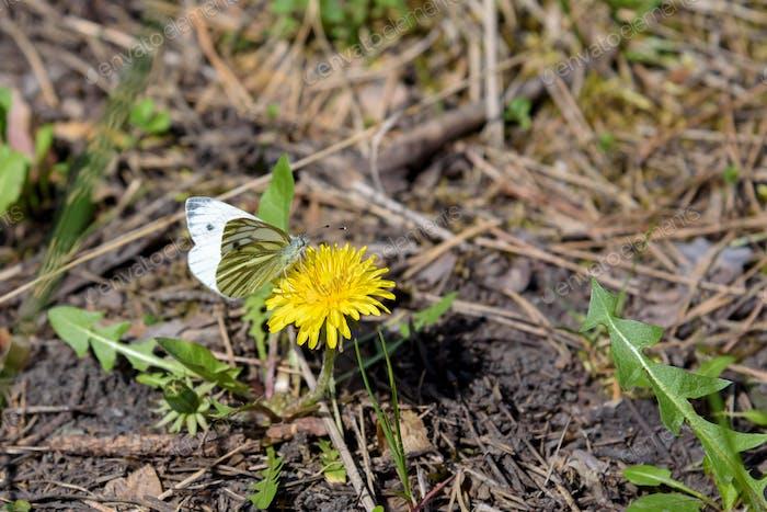 Butterfly on flowerhead of field milk thistle
