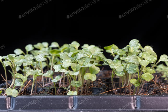 Close-up of Chinese kale baby vegetable grew on seeding germination tray