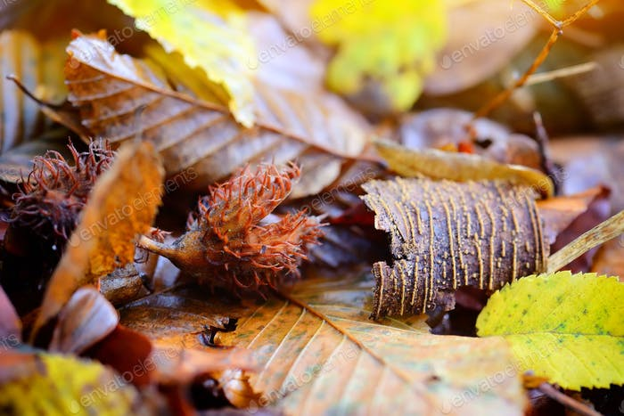 Beech nuts lying on fallen leaves in the forest. Autumn is time