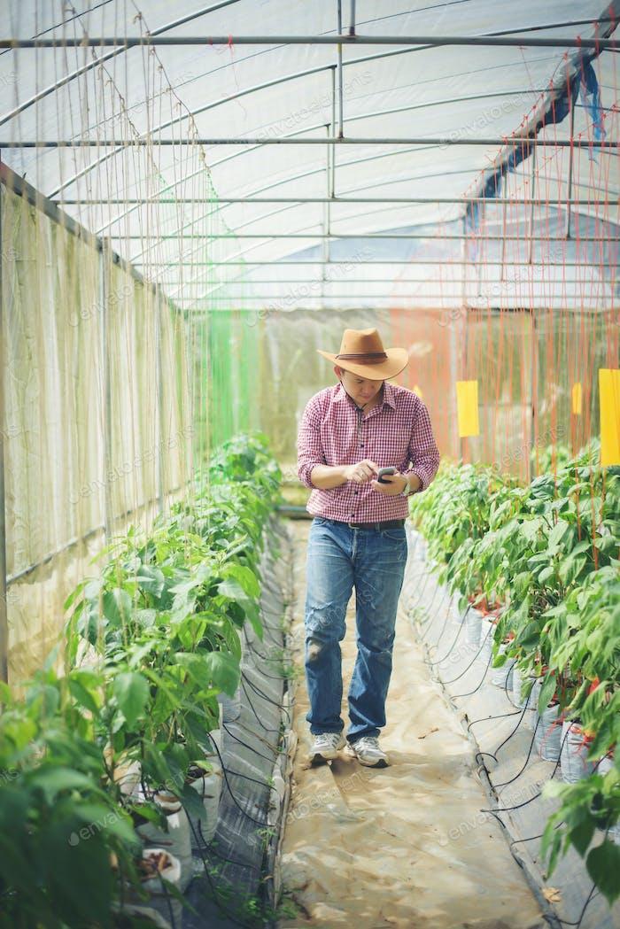 Landwirt im Gewächshaus mit Chili-Pfeffer