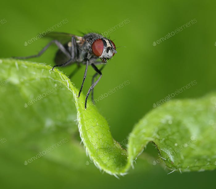 Small fly on curly green leaf