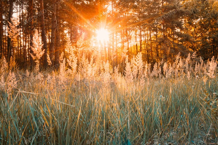 Sunset Or Sunrise In Autumn Forest. Sun Shining With Sun Rays Th