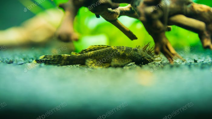 Bushymouth catfish freshwater aquarium fish