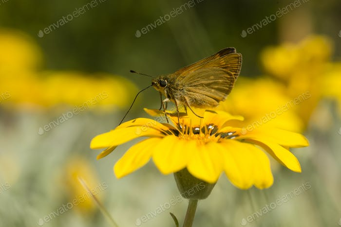 Small skipper butterfly on yellow daisy flower