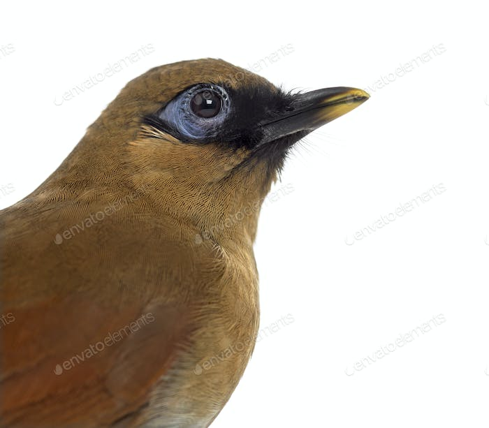 Grey Sided Laughingthrush isolated on white