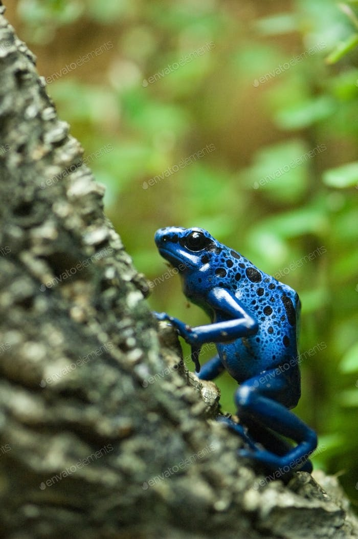 blue dart poison frog