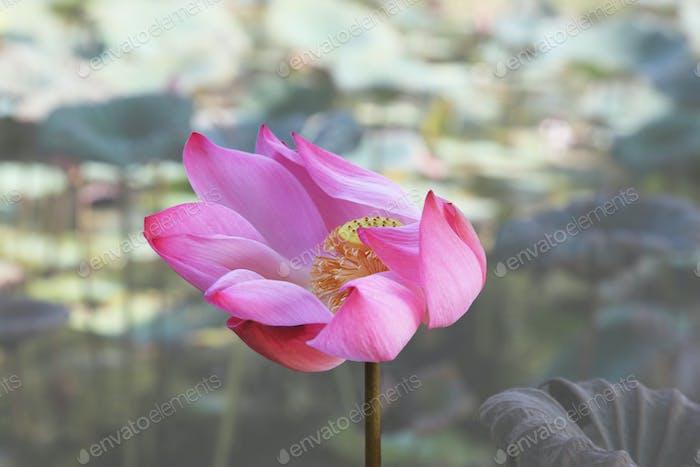 Lotus Blumen in Vietnam