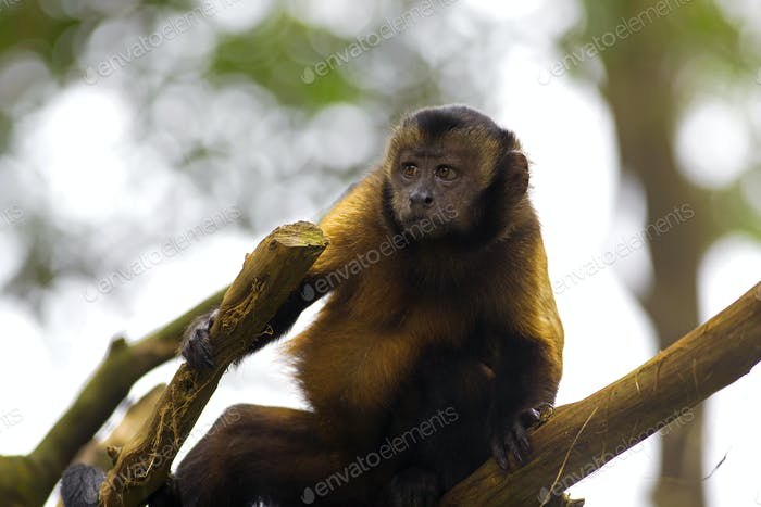 Thumbnail for Brown Capuchin Monkey
