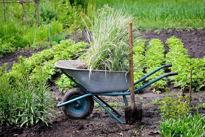 Wheelbarrow full with decorative sedges (Reed canary grass) and