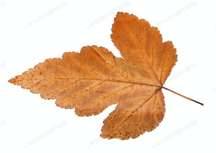 back side of autumn leaf of viburnum tree