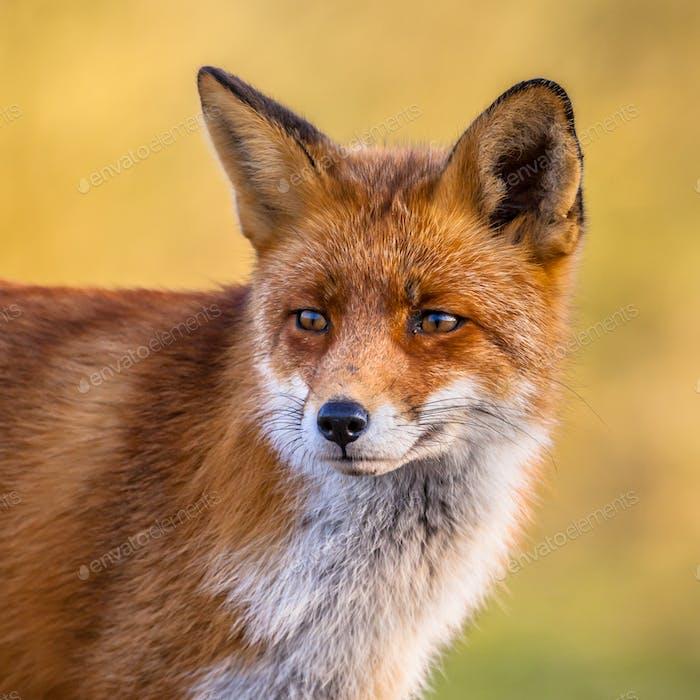 Porträt von Red Fox Gesicht