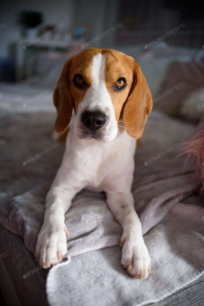 Perro beagle pura raza acostado en sofá sofá en la sala de estar