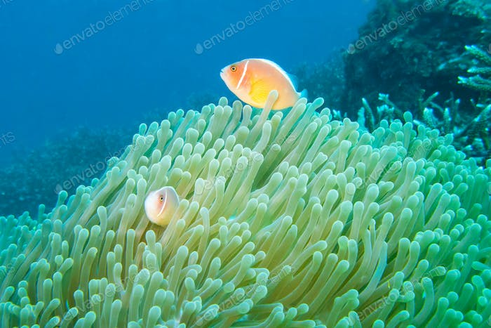 Pink Anemonefish off the East Coast of Bali