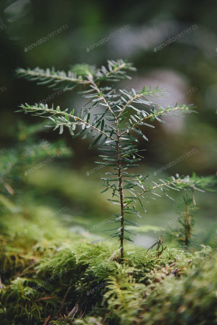 Close up of a Western Hemlock sapling in lush, in the Hoh temperate rainforest