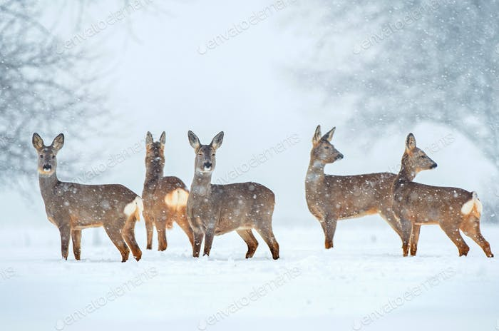 Wild roe deer herd in a snowfall