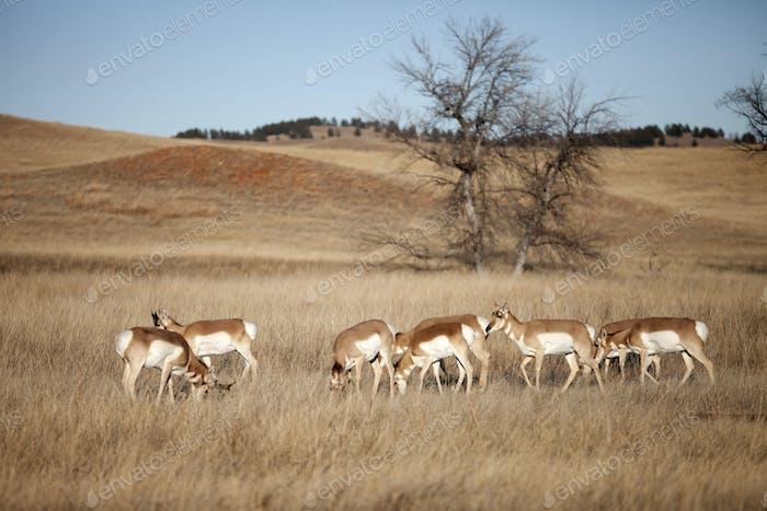 herd of pronghorn antelope