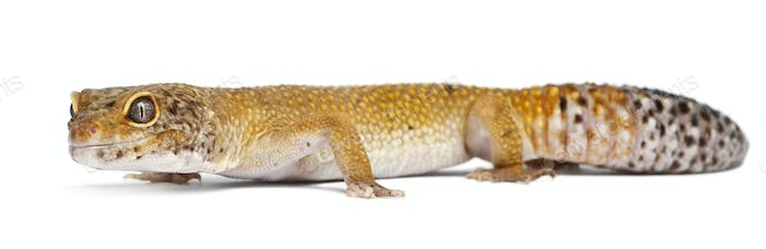 Hypomelanistic Leopard gecko, Eublepharis macularius, in front of white background