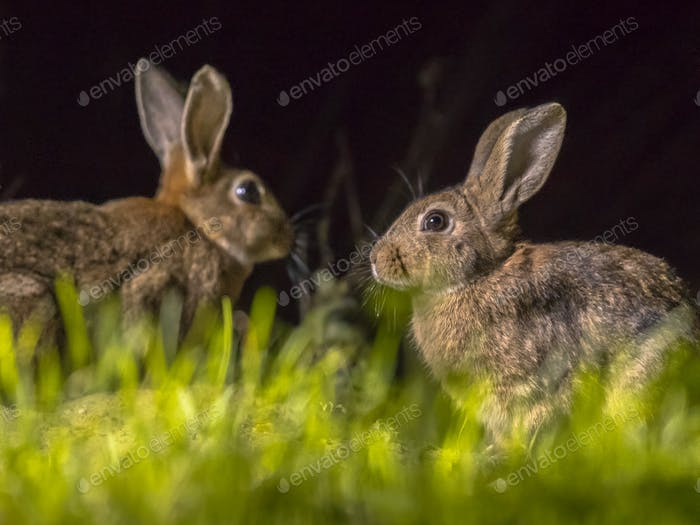 Two european rabbits at night