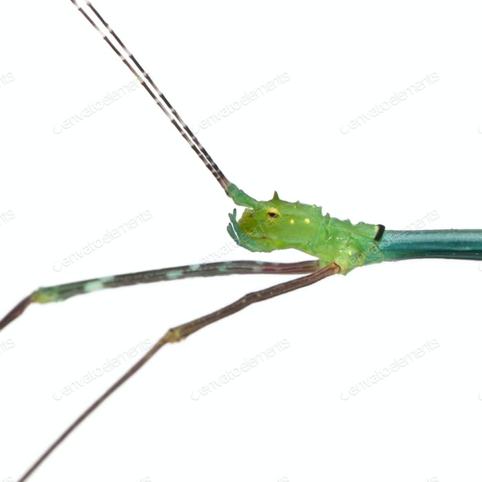 Close-up of Myronides Sp, stick insect, in front of white background