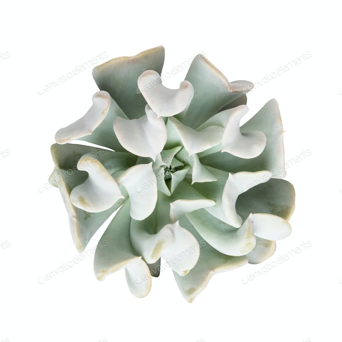 Thumbnail for succulent plant isolated