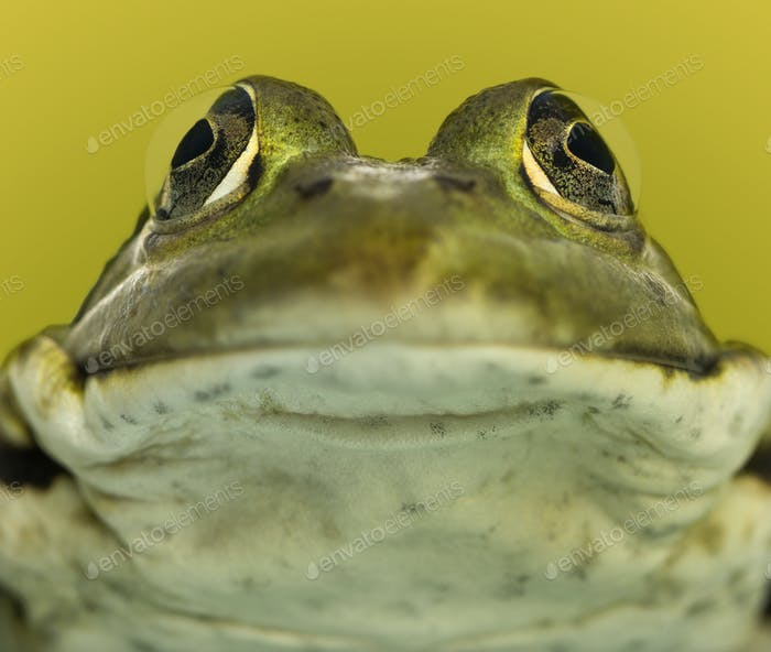 Close-up of a frog facing, on a green background