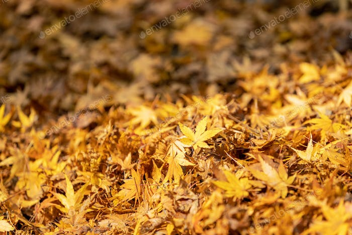 close-up of maple leaves in autumn