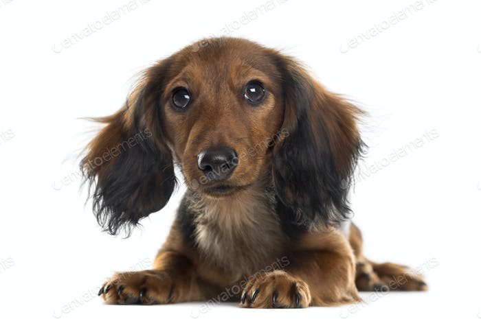 Dachshund puppy looking at the camera, isolated on white